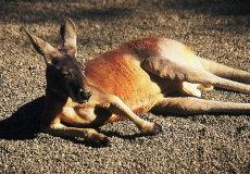 australian-cangaroo-01
