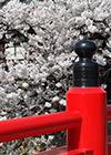 japan-sakura