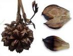 Nipa-Palms-Fruit