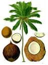nucifera cocos